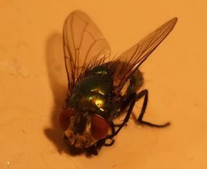 openphotonet_hairy fly